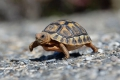 Angulate tortoise, Western Cape, Garden Route, South Africa