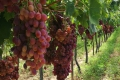 Klein Karoo Wine Route - Stronghold of sweet wines, Western Cape, Klein Karoo, South Africa