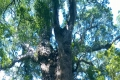 Woodville Big Tree, Picnic Spot, Wilderness, Garden Route, South Africa