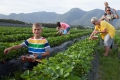Pick your own Strawberries, George, Garden Route, South Africa