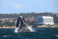 Whale watching in the Garden Route South Africa, Western Cape, Garden Route, South Africa