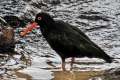 African black oystercatchers, Western Cape, Garden Route, South Africa