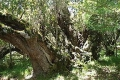South Africa's largest Milkwood Tree - Langbos se Oupa, Stilbaai, Garden Route, South Africa