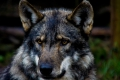 Garden Route Wolf Sanctuary, Plettenberg Bay, Garden Route, South Africa